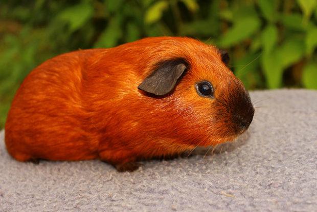 Красно-черный пойнт - калифорнийская свинка