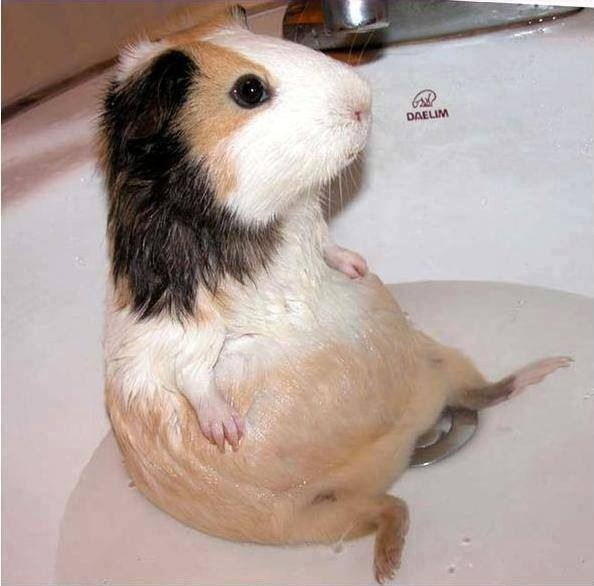 Морские свинки любят купаться
