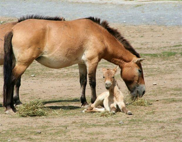 Кобыла и жеребенок - лошади Пржевальского