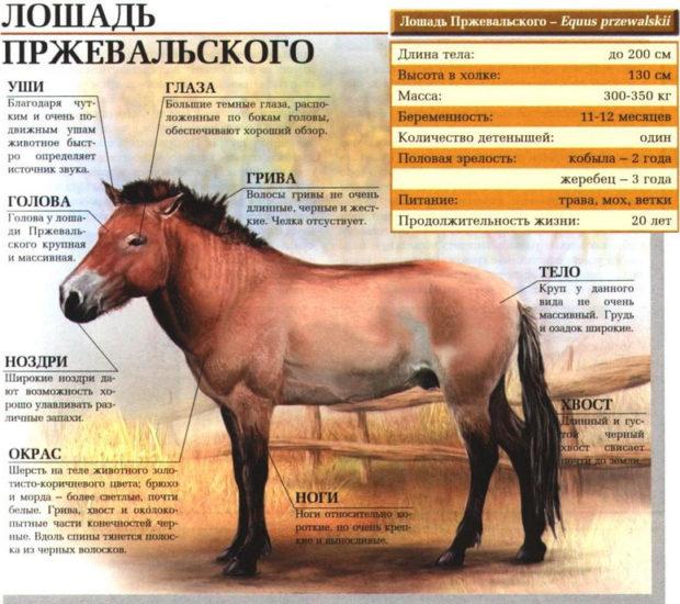 Описание породы лошадей Пржевальского