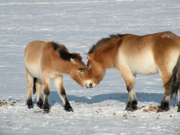 Лошади Пржевальского зимой