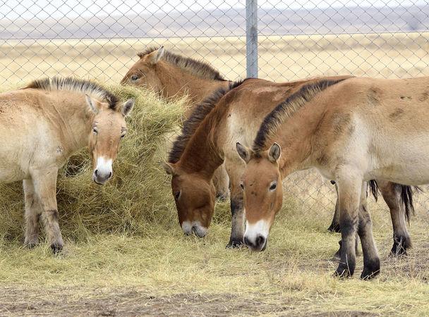 Лошади Пржевальского - краснокнижный вид