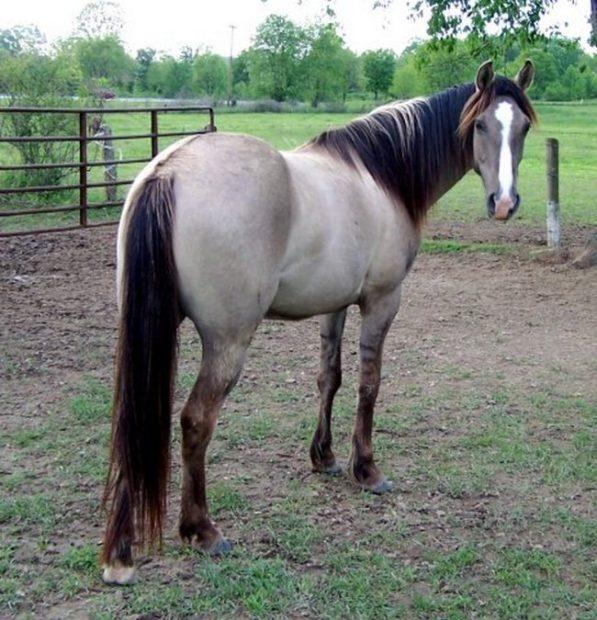 Мышастая лошадь с черной гривой