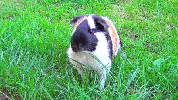 Трехцветная свинка очень красива