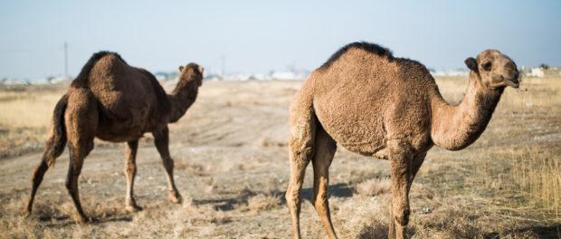 Верблюды нары - гибридный вид