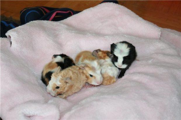 Новорожденные свинки через час уже ползают