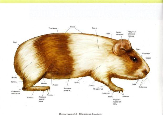 Строение тела морской свинки