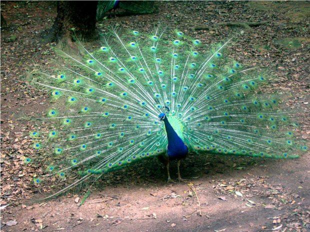 Обыкновенный павлин с зеленой основой хвоста
