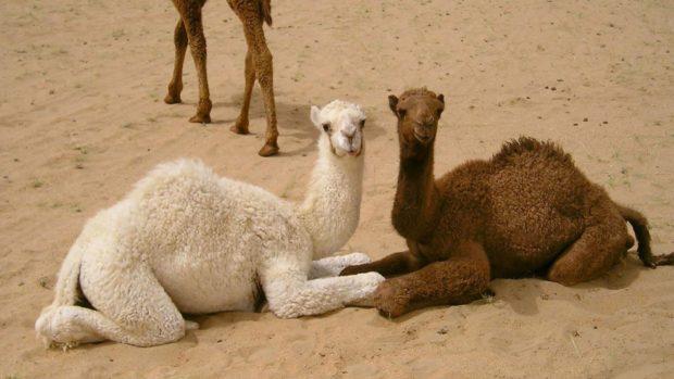 Окрасы верблюдов - от почти белого до темно-коричневого
