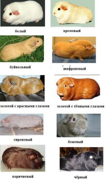 Примеры окрасов морских свинок