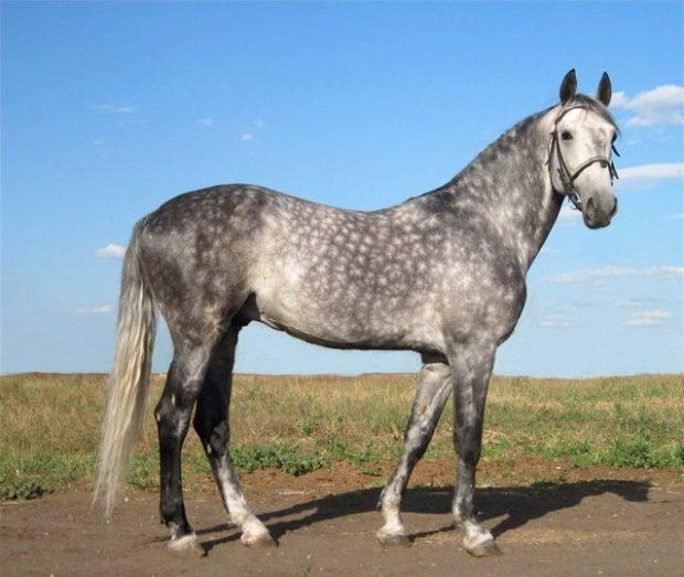 Орловская рысистая лошадь