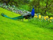 Павлин в Индии - национальная птица