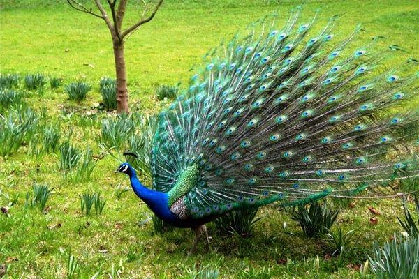 Индийский павлин в природе