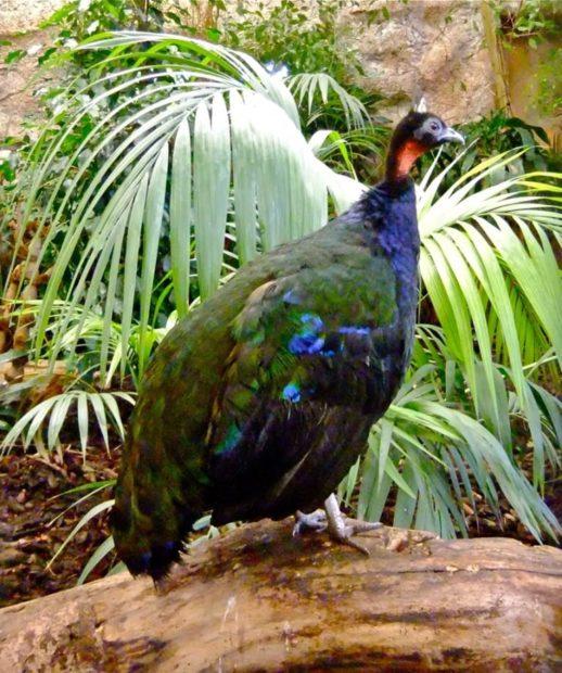 Конголезский вид павлинов