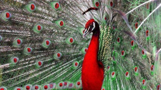 Красный павлин - выведенный подвид зеленого