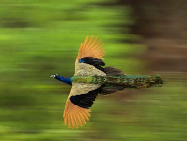 Скорость полета павлина довольно высокая