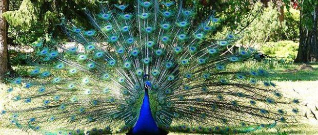 Обыкновенный синий павлин