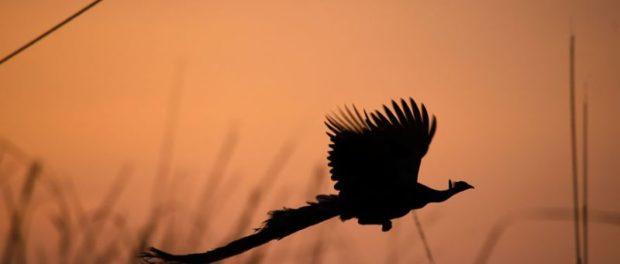 Полет павлина на закатном небе