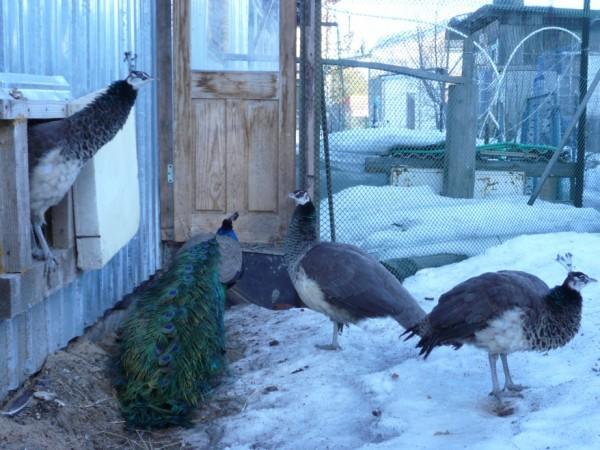 Зимой рацион павлинам надо увеличить