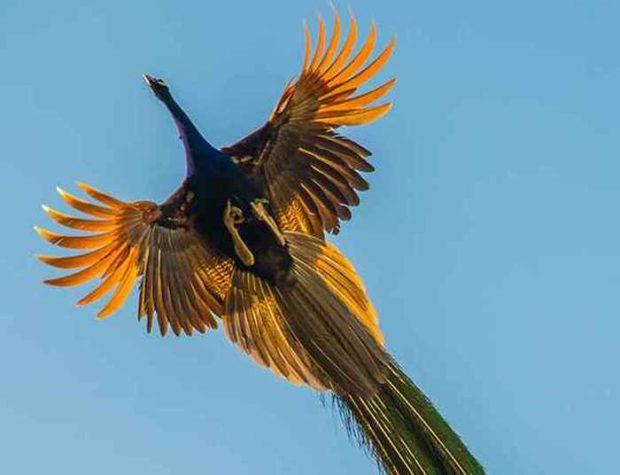 Полет павлина - хвост не мешает