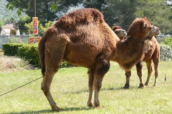 Нар - помесь разных видов верблюдов
