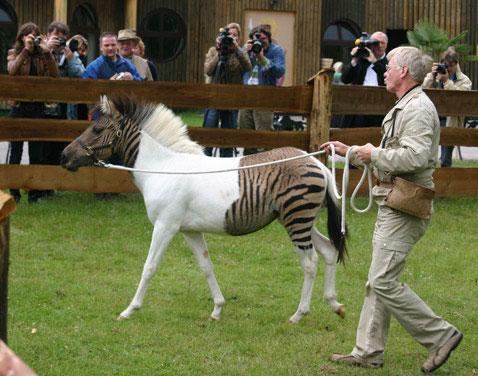 Зеброид - помесь кобылы и самца зебры
