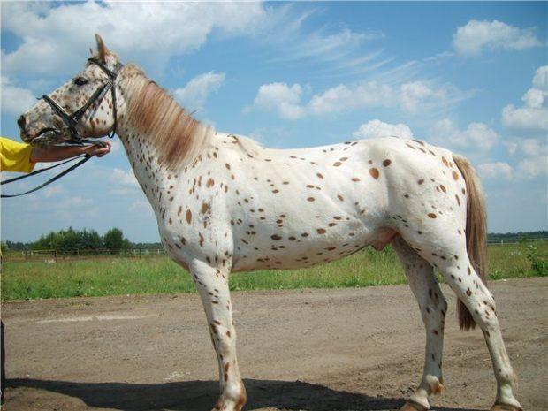 Пестрая лошадка алтайской породы