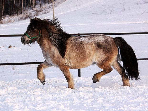 Якутской породы коник