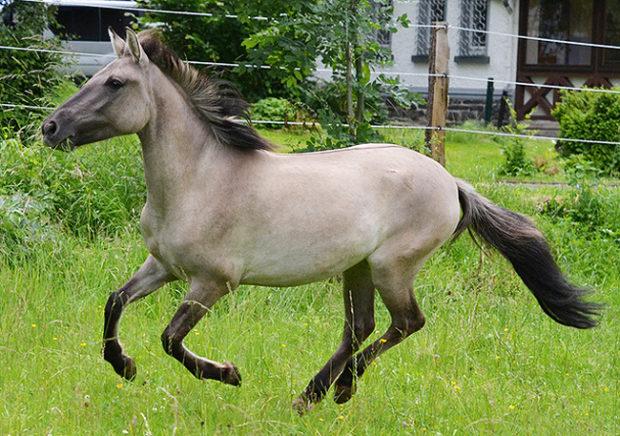 Польская лошадка