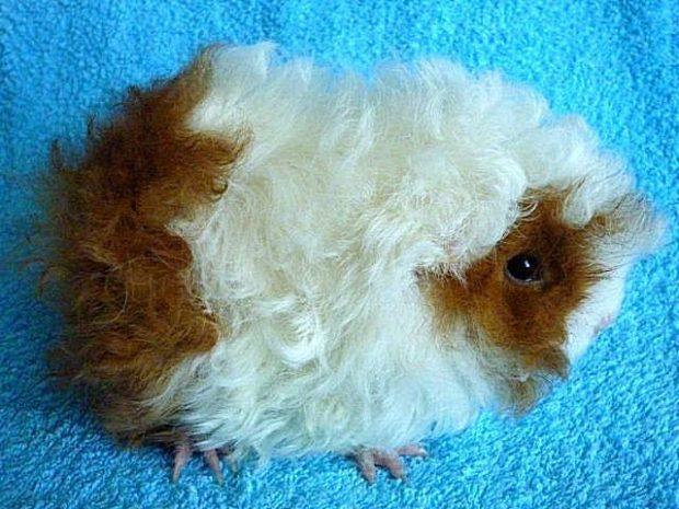 Порода морских свинок Лункария