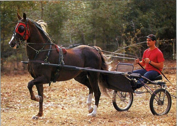 Конь Морган в упряжке
