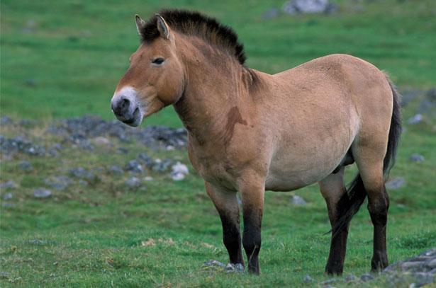 Порода диких коней Пржевальского