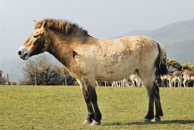 Дикие кони тарпаны