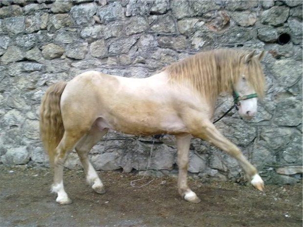 Коник торийской породы лошадей