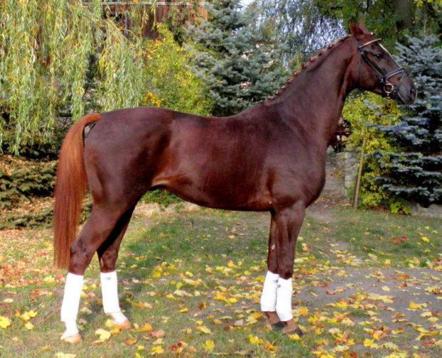 Конь Великопольской породы
