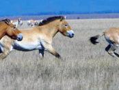 Пржевальский и лошади, названные его именем
