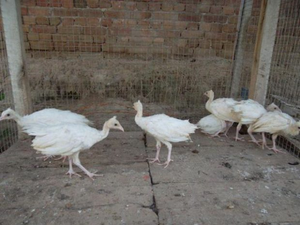 Подрощенные птенцы белого павлина