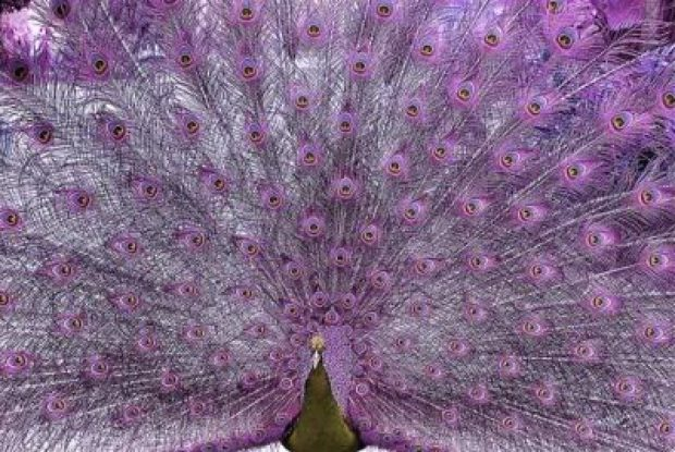 Пурпурный подвид павлина