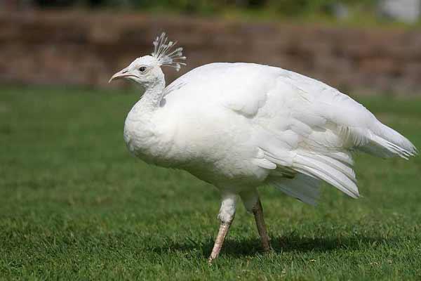 Самка белого павлина очень красивая