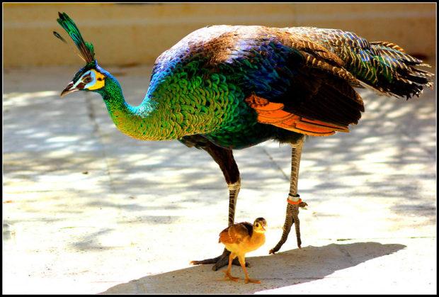 Самка яванского павлина и птенец