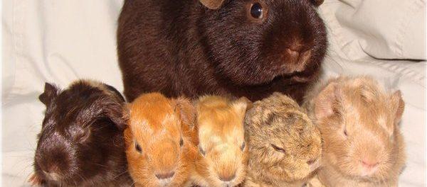 Семейный портрет - свинка и потомство