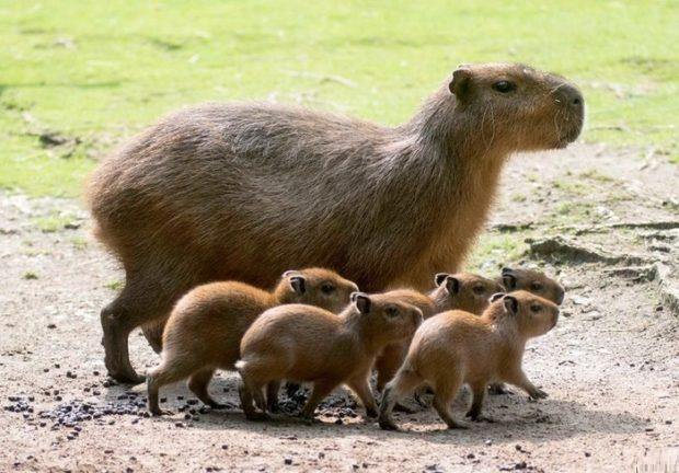 Семья капибар - родственников морских свинок