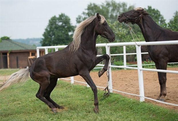 Серебристо-вороная масть лошадей