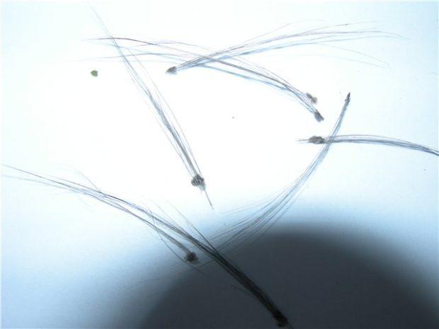 Клочья шерсти при грибке