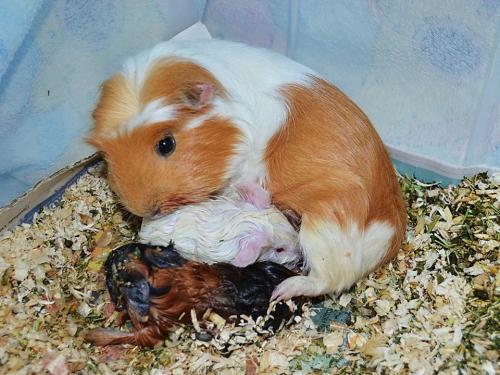 Морские свинки рожают сидя