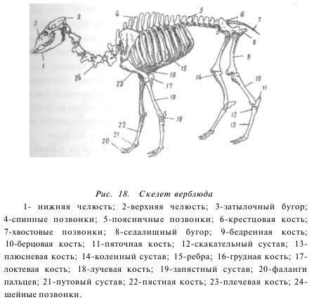 Скелет верблюда и названия костей