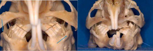 Строение черепа морской свинки