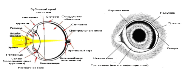 Строение глаза морской свинки
