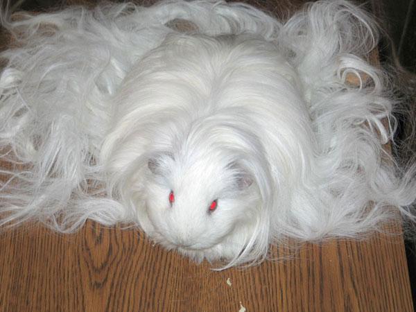 Морская свинка-альбинос Белоснежка