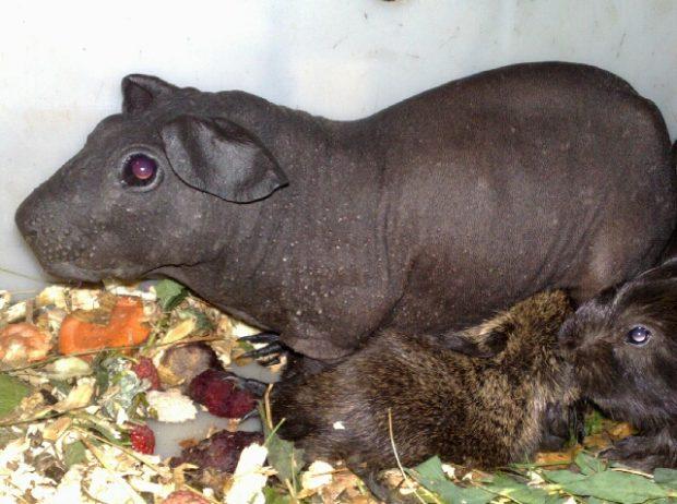 Свинка породы болдуин стоит до 30 тысяч рублей